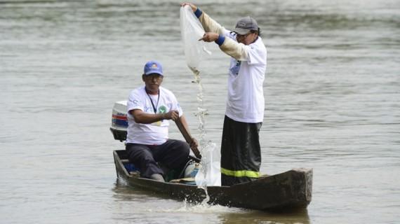 Sembraron 7.500 bocachicos en el río Cauca