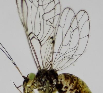 """Descubren insecto y lo """"bautizan"""" Univalle"""