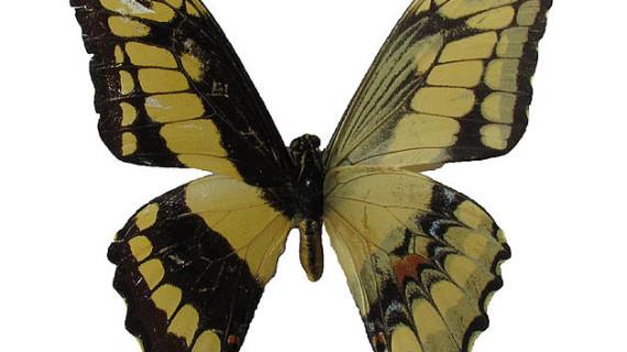 Nuevos reportes de mariposas para la Orinoquia