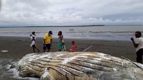 Encuentran ballena jorobada muerta en Buenaventura