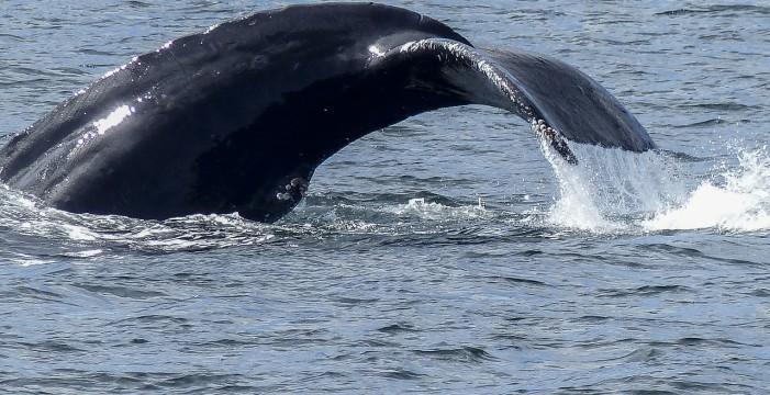 Arranca temporada de ballenas 2017