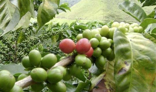 El Valle continúa apostándole a la producción de cafés especiales