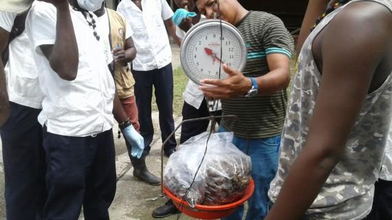 Eliminan 100 kilos de caracol africano en puerto Merizalde