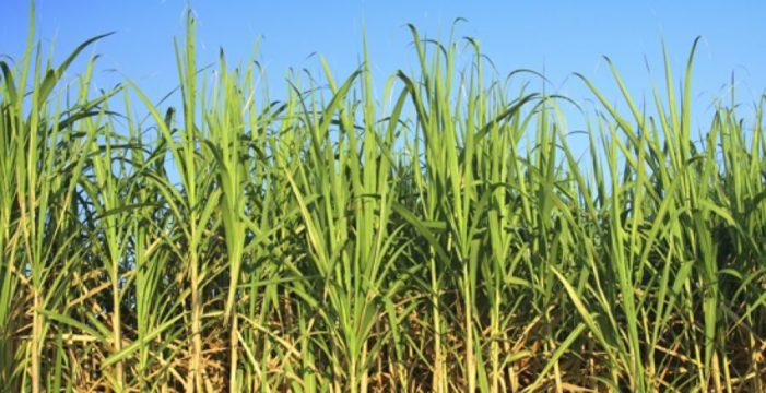 Agroindustria de la caña de azúcar vallecaucana apoya siembra en el departamento del Meta