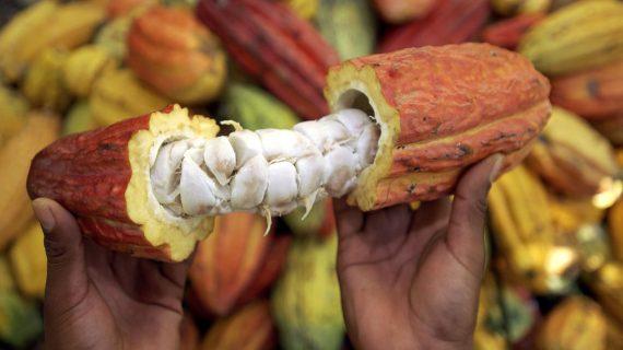 Departamento le apuesta al cacao como un cultivo de alta productividad