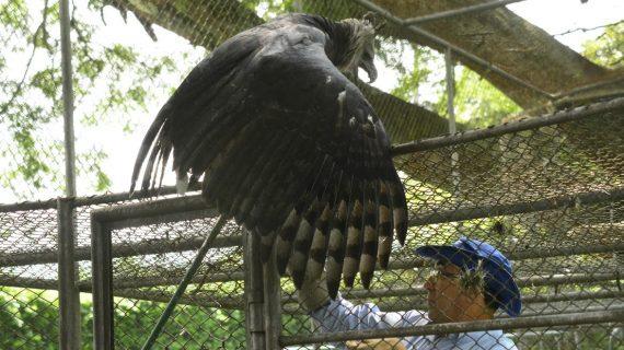 Avanza la reproducción en cautiverio del Águila Arpía