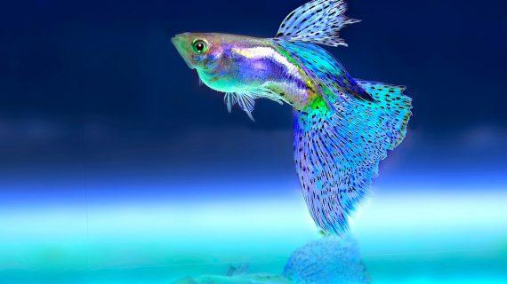 El Valle le apuesta a la producción de peces ornamentales en Buenaventura