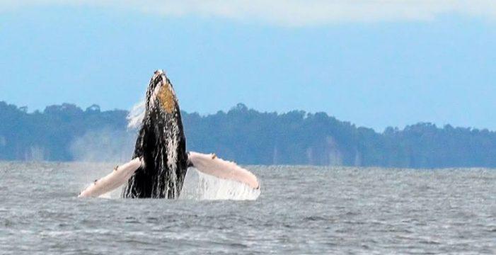 Las ballenas están en el Pacífico vallecaucano