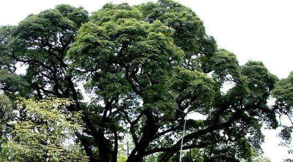 Dagma no ha autorizado tala de árboles en parte alta de Chipichape