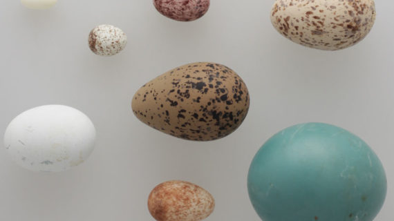 Icesi dona colección de huevos al museo del Instituto Humboldt