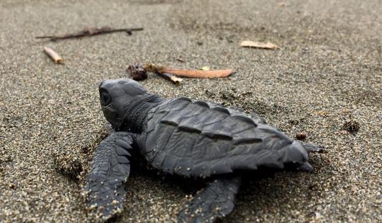 250 tortugas marinas fueron liberadas de forma simultánea en los océanos