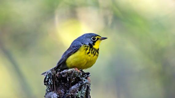"""Colombia Birdfair 2020, del 13 al 16 de febrero en Cali """"Aves migratorias, viajeras sin fronteras"""""""